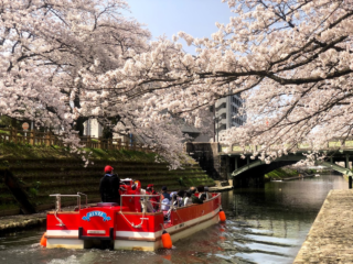 桜の季節の松川遊覧船